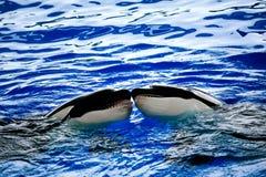 varje kyssande orcas över Royaltyfria Bilder