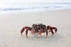 varkala красного цвета Кералы рака пляжа смешное Стоковое Изображение RF