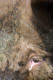 Varken, εσωτερικός χοίρος στοκ φωτογραφία με δικαίωμα ελεύθερης χρήσης
