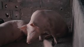 Varken binnen kooi in het landbouwbedrijf stock videobeelden