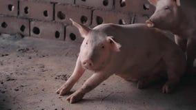 Varken binnen kooi in het landbouwbedrijf stock video