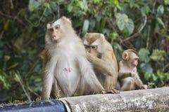 Varken-de steel verwijderd van macaque Stock Foto
