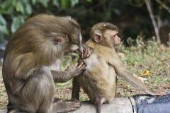 Varken-de steel verwijderd van macaque Royalty-vrije Stock Afbeelding