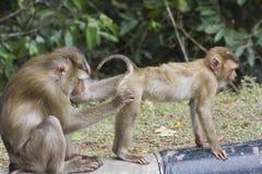 Varken-de steel verwijderd van macaque Royalty-vrije Stock Foto's