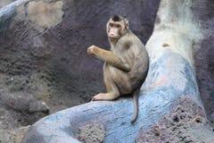 Varken-de steel verwijderd van macaque royalty-vrije stock foto