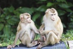 Varken-de steel verwijderd van macaque bij het nationale park van Khao Yai Royalty-vrije Stock Fotografie