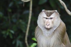 Varken-de steel verwijderd van macaque bij het nationale park van Khao Yai Stock Foto's