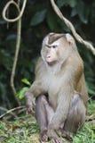 Varken-de steel verwijderd van macaque bij het nationale park van Khao Yai Royalty-vrije Stock Foto's