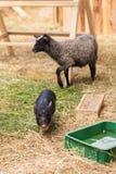 Varken en schapen dichtbij de voeders Stock Afbeeldingen