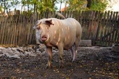 Varken in het landbouwbedrijf stock foto
