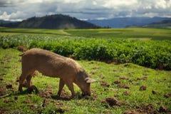 Varken het Weiden op een Peruviaans Gebied Stock Afbeeldingen