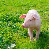 varken op een groen gras stock afbeelding