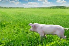 varken op een groen gras stock afbeeldingen