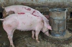 Varken op een landbouwbedrijf Stock Foto