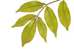 Varken Plum Leaf op witte achtergrond stock afbeeldingen