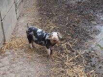 Varken in varkenskot royalty-vrije stock afbeeldingen