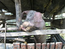 Varken in varkensstal Royalty-vrije Stock Afbeelding