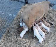 varkens Stock Afbeelding