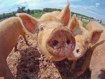 varkens stock foto's
