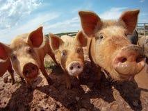 varkens royalty-vrije stock afbeelding