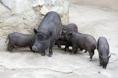 varkens Royalty-vrije Stock Foto's