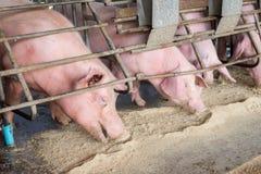 Varkens bij het landbouwbedrijf De varkensindustrie Varken die de groeiende vraag naar vlees in Thailand bewerken te ontmoeten en stock foto