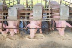 Varkens bij het landbouwbedrijf De varkensindustrie Varken die de groeiende vraag naar vlees in Thailand bewerken te ontmoeten en stock afbeeldingen