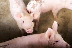 Varkens bij het landbouwbedrijf De vleesindustrie Stock Afbeelding
