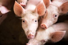 Varkens bij het landbouwbedrijf De vleesindustrie royalty-vrije stock afbeelding