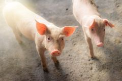 Varkens bij het landbouwbedrijf De vleesindustrie Stock Foto