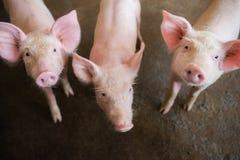 Varkens bij het landbouwbedrijf De vleesindustrie Varken die de groeiende vraag naar vlees in Thailand bewerken te ontmoeten en i royalty-vrije stock afbeeldingen