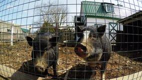 Varkens bij pen in landbouwbedrijf 4k stock videobeelden