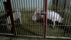Varkens in de kooi bij dierlijk landbouwbedrijf stock footage