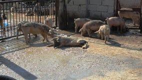 Varkens in de modder, varkenspoot royalty-vrije stock afbeeldingen