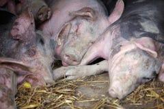 Varkens in de pen Stock Afbeeldingen