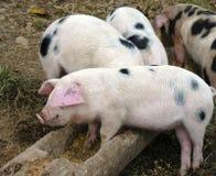 Varkens die tijd voeden royalty-vrije stock afbeeldingen
