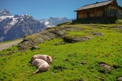 Varkens in een Alpiene weide met bergen in sneeuw op achtergrond J royalty-vrije stock foto's