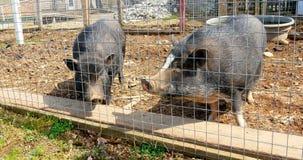 Varkens in een kooi 4k stock video