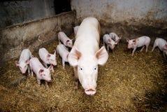 Varkens in een landbouwbedrijf Stock Afbeelding