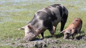 Varkens in een modder stock videobeelden