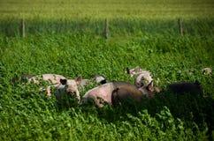 Varkens in een weide Stock Afbeeldingen