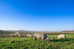 Varkens en biggetjes die in een gebiedsweiland weiden royalty-vrije stock afbeeldingen