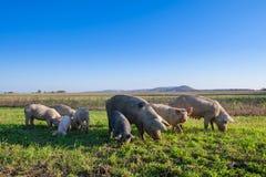 Varkens en biggetjes het weiden stock foto's