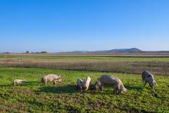 Varkens en biggetjes het weiden stock foto