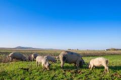 Varkens en biggetjes het weiden stock afbeelding