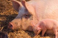 Varkens en biggetjes op het landbouwbedrijf stock foto