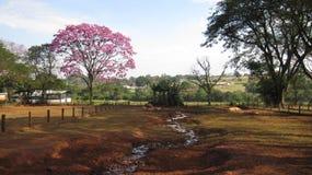Varkens en roze ipe Royalty-vrije Stock Foto's