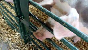 Varkens in het landbouwbedrijf, schuur stock footage