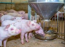Varkens in het landbouwbedrijf in Thailand Stock Fotografie