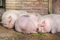 Varkens het slapen Royalty-vrije Stock Foto